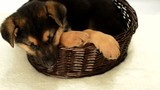 German Shepherd puppy in a straw basket, top view