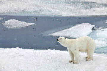 Polar bear family in natural environment
