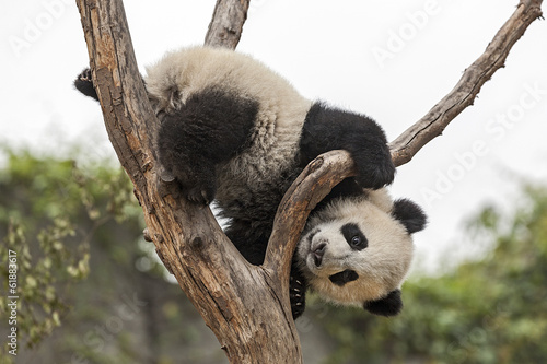 Deurstickers Panda Giant Baby Panda Climbing on a Tree