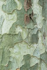 particolare della trama corteccia, legno di pino
