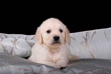 Kleiner Golden Retriever auf großem Bett
