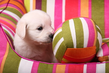Golden Retriever Welpe mit Ball