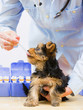 Veterinary is giving the medicine to the Yorkshire puppy