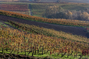 Autumnal vineyards in Italy