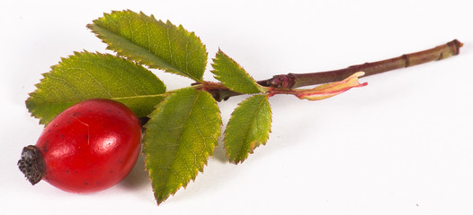 Rosehip berry and leaves