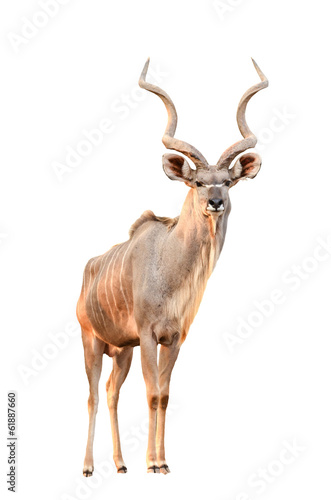 Aluminium Antilope kudu isolated