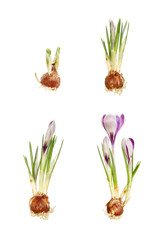 Crocus composite