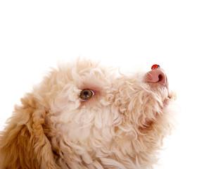 Marienkäfer auf Hundenase