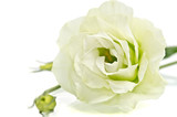 White Eustoma flower