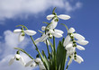 beautiful spring snowdrops ,background sky