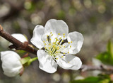 Fruit tree blossom close-up. Shallow depth of field