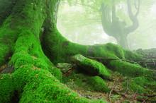 "Постер, картина, фотообои ""tree roots with moss on forest"""