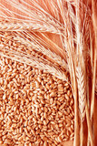 Grains and ears of wheat