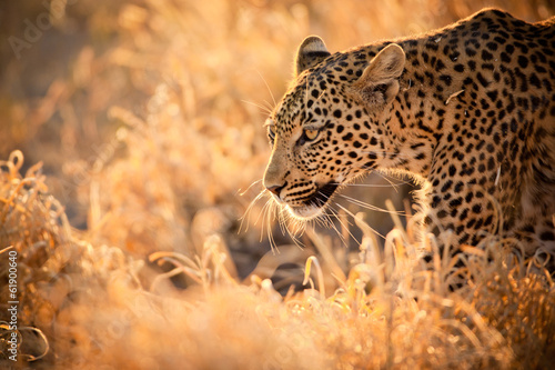 Canvas Zuid Afrika Leopard Walking at Sunset