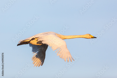 Whooper Swan flying