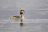 Great Crested Grebe, Podiceps cristatus Linnaeus