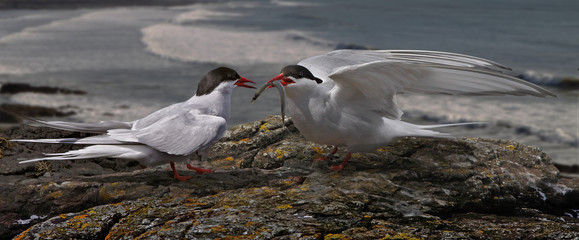 Arctic Tern with Offering