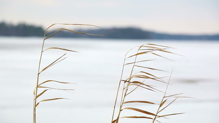 Reeds swaying in winter breeze