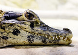 Young black caiman (Melanosuchus niger)