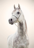 Fototapeta Horses - portrait of gray beautiful arabian stallion at art background © anakondasp