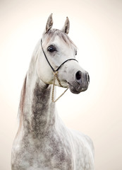 portrait of gray beautiful arabian stallion at art background