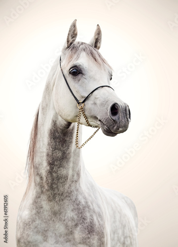 Fototapeta portrait of gray beautiful arabian stallion at art background