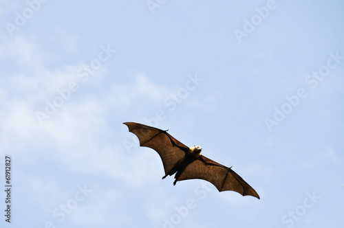 Grey-headed flying fox in flight, Botanical Gardens of Sydney