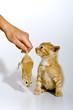 Babykatze spielt mit einer Maus