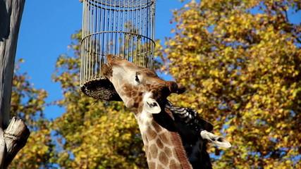 Giraffe reaching its food head of giraffe