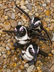 African penguin (Spheniscus demersus) from top