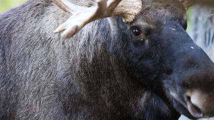 Up-close image of the moose with its big antlers