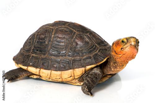 Tuinposter Schildpad Gelbrand-Scharnierschildkröte