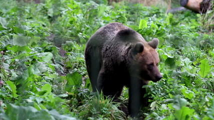 Grizzly brown bear walking in the green luscious area
