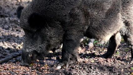 Black wild boar chewing