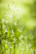 June green grass flowering
