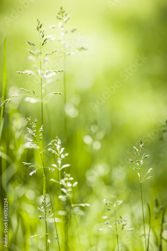 June green grass flowering