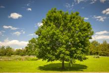 Klon drzewa w polu latem