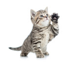 Scottish tabby kitten gives paw and looking up