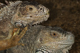 portraits of two iguanas