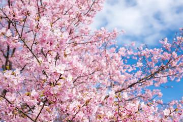河津桜と空