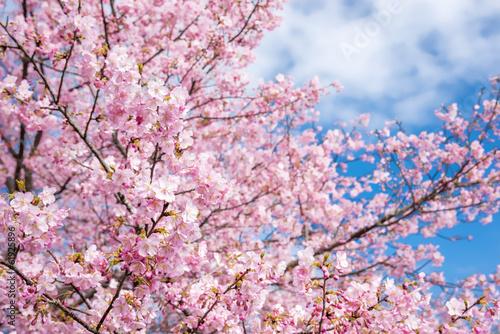 Aluminium Kersen 河津桜と空