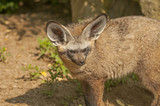 Bad-eared fox