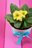 Yellow primrose in pot on  wooden background