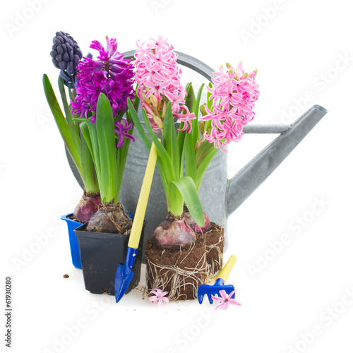 hyacinth flowers with gardening tools