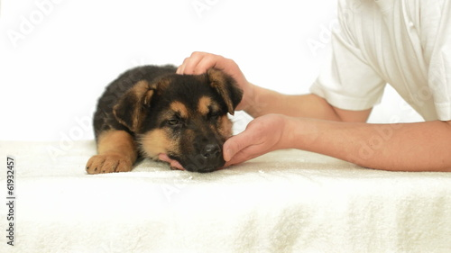 human hands stroking the puppy