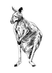Drawing of a kangaroo. Vector illustration