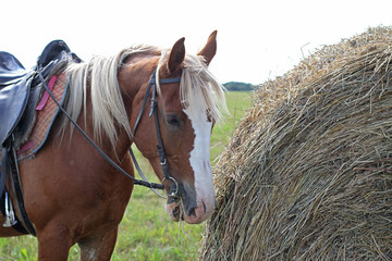 brown spotted horse eating hay, standing next to a stack