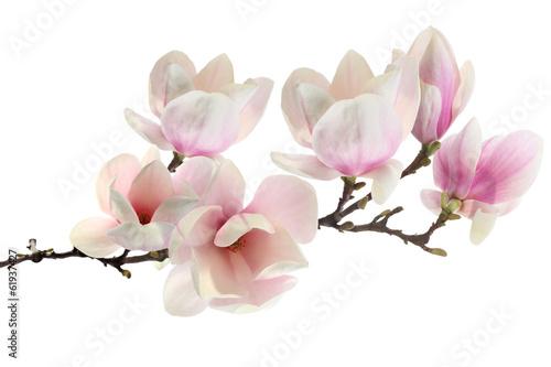 Aluminium Magnolia spring