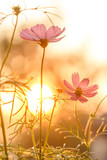 Fototapety Pink cosmos on field in sunset time