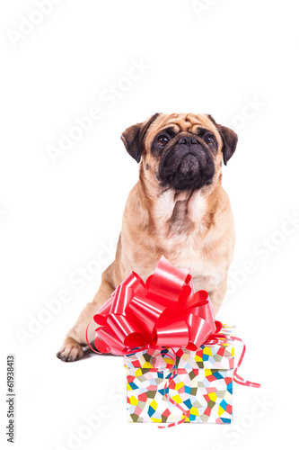 Mops pug with a gift isolated on white